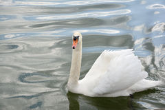 Swan swimming in lake waters Stock Photo