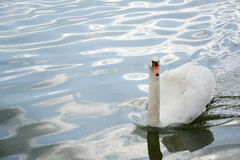 Swan swimming in lake waters Royalty Free Stock Photos