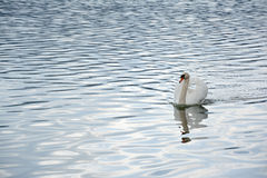 Swan swimming in lake waters Royalty Free Stock Photography
