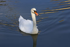 Swan Swimming in the Lake Royalty Free Stock Photo