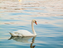 Swan swimming on the lake Royalty Free Stock Photos