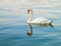 Swan swimming on the lake Royalty Free Stock Images