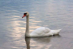 Swan swimming in the lake. White swan wimming in the lake Royalty Free Stock Photography