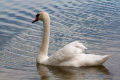 Swan swimming in the lake. White swan wimming in the lake Stock Photo