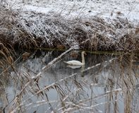A Swan is swimming in the Lake. It is Wintertime and a Swan is Swimming in the cold Water stock images