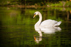 Swan swimming in mountain lake Royalty Free Stock Photography