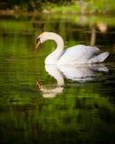 Swan swimming in mountain lake Royalty Free Stock Photos