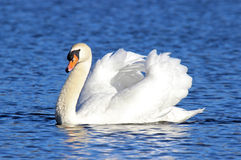 Swan Swimming royalty free stock images