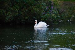 Swan swimming in a lake. Swan swimming near blossoming  plants royalty free stock photos