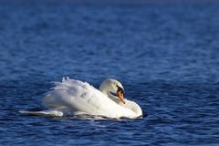 Swan Swimming On A Winter Lake Stock Images