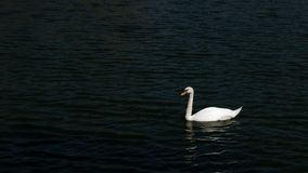 Swan is swimming in the pond. The swan is swimming in the pond stock image