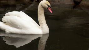 Swan swimming in a pond.  stock video footage