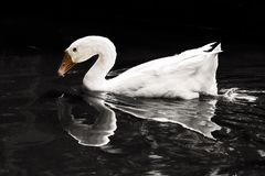 Swan is swimming in the pond, and its reflection. stock photo
