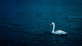 Swan is swimming in the pond. The swan is swimming in the pond stock images