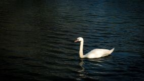 Swan is swimming in the pond. The swan is swimming in the pond royalty free stock photos