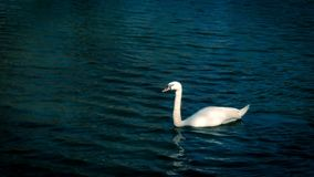 Swan is swimming in the pond. The swan is swimming in the pond stock photos