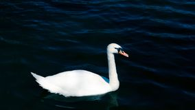 Swan is swimming in the pond. The swan is swimming in the pond stock photography