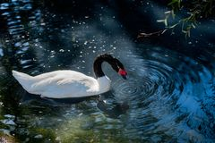 Swan swimming in a pond with water ripples. stock image