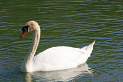 Swan swimming in the pond Stock Image