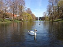 Swan swimming in a pond Royalty Free Stock Photography