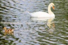Swan swimming in a reservoir. White  nature  swan  water  bird  natural  duck  wild  animal  beautiful stock photos