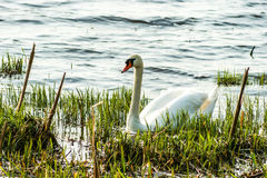 Swan. Swimming in the river Royalty Free Stock Photography