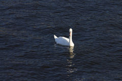 A swan swimming on a a river Royalty Free Stock Images