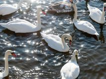 Swan swimming on river. Evening water nature stock image