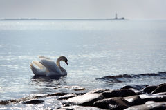 Swan swimming in the sea Stock Images