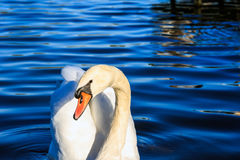 Swan Swimming in The Serpentine Lake Royalty Free Stock Photo