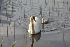 Swan swimming with single signet following. Stock Photo