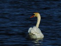Swan is swimming with a special style in a lake Stock Images