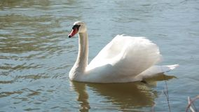 Swan swimming sunny day. On a river in a city park .Wiild life in a city park stock footage