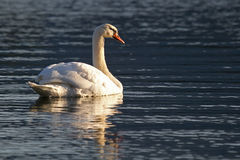 Swan. Swimming in the sunset Royalty Free Stock Images
