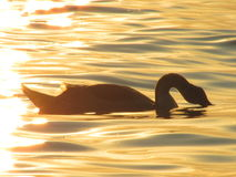 Swan. A swan swimming at the sunset Stock Image