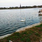 Swan. Swimming on Tabacarie Lake Constanta Stock Photo