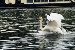 Swan. Swimming in the Thames river Royalty Free Stock Photos