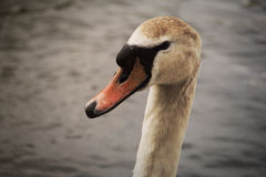 Swan. Swimming in the Thames river Royalty Free Stock Images