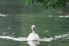 A swan swimming toward the audience royalty free stock photos
