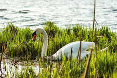 Swan. Swimming trough the weeds Royalty Free Stock Photos