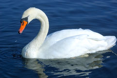 Swan swimming in water Stock Photo
