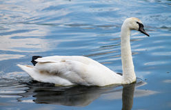 Swan, swimming in the water Stock Image