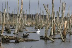 Swan swimming on a water between dead trees. stock photo