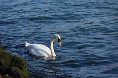 Swan swimming in the water. At Hoek van Holland, Netherlands Stock Photos