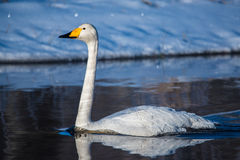 Swan swimming in water Stock Photos