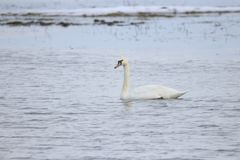 Swan swimming in water. A white swan swimming in water, Europe, Scandinavia, Denmark, Ær royalty free stock photo