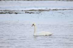 Swan swimming in water. A white swan swimming in water, Europe, Scandinavia, Denmark, Ær royalty free stock photos