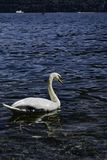 Swan Swimming. White swan swimming in clear water of Lake Como, Italy in the summer royalty free stock photos