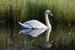 Swan swims along the lake in the wild. White swan swimming on the lake in the wild Royalty Free Stock Image