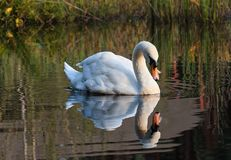 Swan swims along the lake in the wild. White swan swimming on the lake in the wild Stock Images